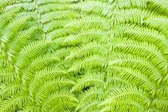 Grön ormbunkebakgrund Arkivbilder