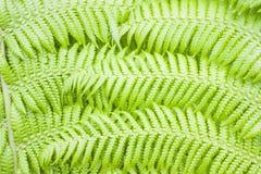 Grön ormbunkebakgrund Fotografering för Bildbyråer