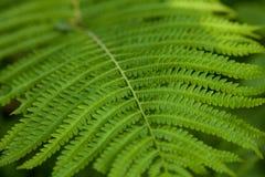 Grön ormbunkebakgrund Arkivfoton