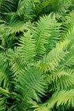 Grön ormbunkebakgrund Royaltyfria Bilder