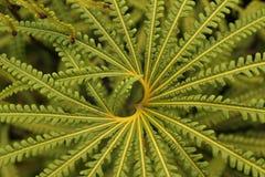 Grön ormbunkemodell med hjärtaform - Cameron Highlands, Malaysia royaltyfri bild