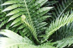 Grön ormbunkenärbild, textur, bakgrund Perfekt naturlig modell fotografering för bildbyråer