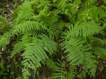 Grön ormbunketrädfilial Arkivbild