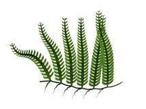Grön ormbunksbladillustration Arkivbilder