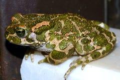 Grön padda för europé (Bufo viridis) Royaltyfri Fotografi