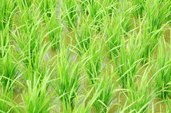 grön paddy Royaltyfri Fotografi