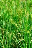 grön paddy för fält Arkivfoto