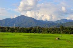 Grön paddy sätter in royaltyfria bilder