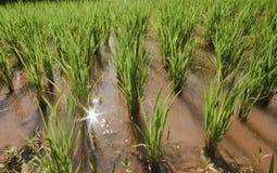 Grön paddy sätter in Fotografering för Bildbyråer