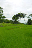 grön paddyrice för fält Royaltyfria Bilder