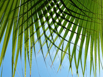 Grön palmblad Arkivbilder
