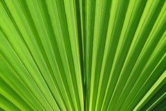 Grön palmblad Royaltyfri Fotografi