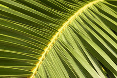 Grön palmblad royaltyfri foto