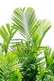 Grön palmblad royaltyfri bild