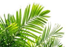 Grön palmblad royaltyfria bilder
