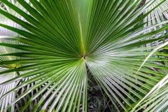 Grön palmblad med radiella åder Royaltyfri Bild