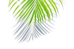 Grön palmblad och skugga på en vit bakgrund royaltyfria foton