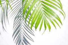 Grön palmblad och skugga på en vit bakgrund arkivbilder