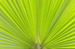 Grön palmbladtextur Royaltyfria Bilder
