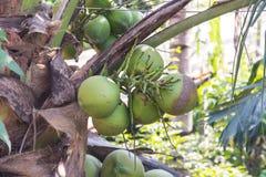 grön palmträd för kokosnöt Arkivfoton