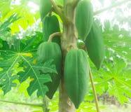 Grön papaya på tree royaltyfria foton