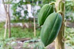 Grön papayafrukt har bokeh av trädgården som bakgrund royaltyfria foton