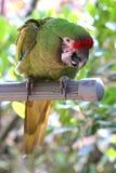 grön papegoja Royaltyfria Foton