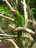 grön papegoja Arkivbild