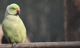 grön papegoja Arkivfoton