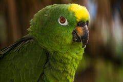 grön papegoja fotografering för bildbyråer