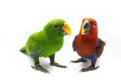 Grön papegoja och röd papegoja (den Eclectus roratusen) Fotografering för Bildbyråer