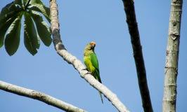 Grön papegoja på trädet Royaltyfri Bild