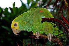 Grön papegoja/Palenque, Mexico Royaltyfria Bilder