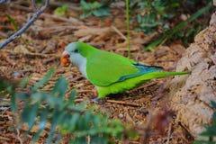 Grön papegoja som rymmer en kärna ur i näbb på skoggolv Arkivbilder
