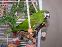 Grön papegoja som rymmer en mutter, medan äta den Arkivfoto