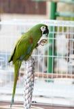 Grön papegoja som sätta sig på en bur Royaltyfri Foto
