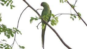 Grön papegoja som sätta sig på en trädfilial stock video