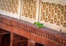 Grön papegojafågel på den Agra fortväggen - Agra, Indien Royaltyfria Foton