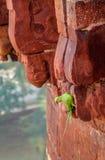 Grön papegojafågel på den Agra fortväggen - Agra, Indien Arkivfoton