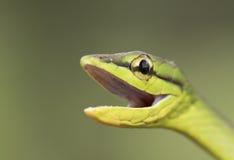 Grön papegojaorm Royaltyfri Bild