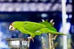 grön papegojastående Royaltyfria Bilder