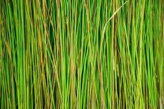 Grön papyrusmodell i natur Arkivbild