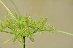 grön papyrusväxt Royaltyfri Foto