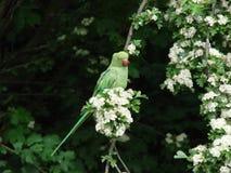 Grön parakiter bland blomningen Arkivbild