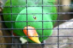 Grön parakiter i bur Arkivfoto