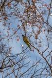 Grön parakiter i filialerna av träden framme av den blåa himlen arkivfoton