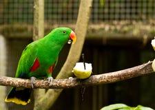 Grön parot äter frukt royaltyfri bild