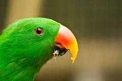 Grön parot äter frukt royaltyfri fotografi