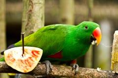 Grön parot äter havre arkivbild