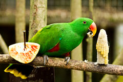 Grön parot äter havre royaltyfria bilder